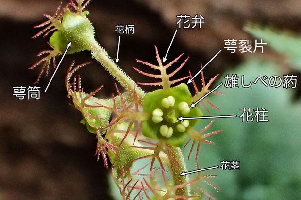 14-コチャルメルソウの花の構造.jpg