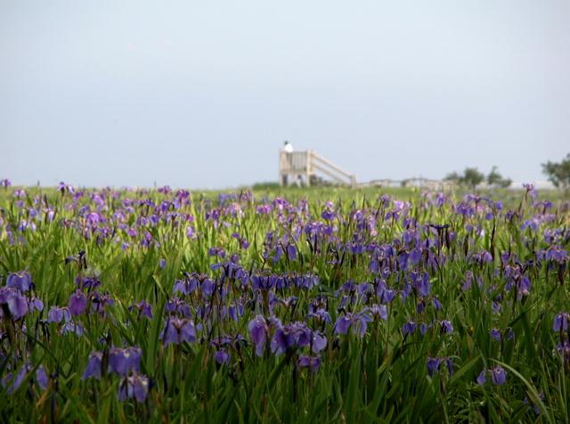 2006.07.04-06N- 041 厚岸・原生花園あやめヶ原.JPG