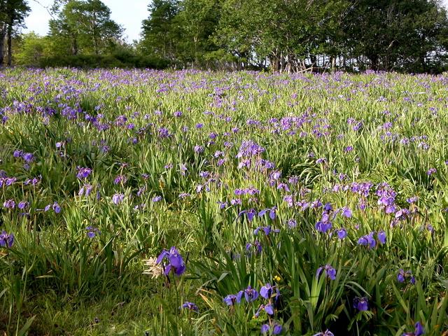 2006.07.04-06N- 039 厚岸・原生花園あやめヶ原.JPG