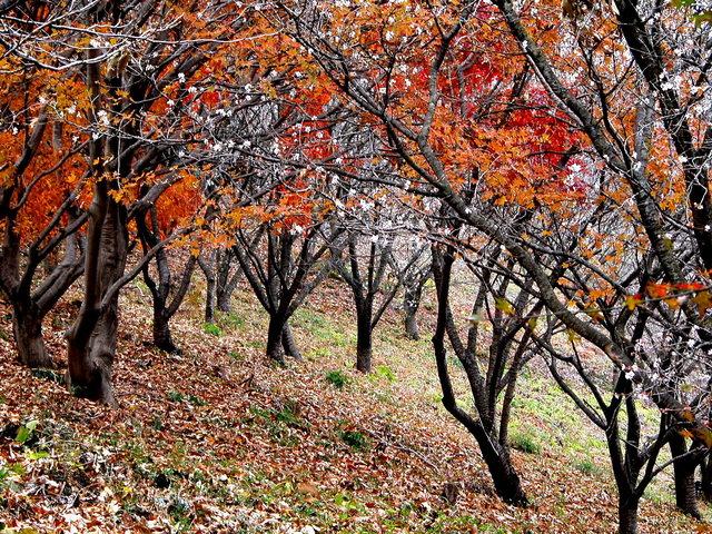 1122 冬桜・鬼石-桜山公園-1.jpg