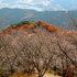 1122 冬桜・鬼石-桜山公園-4.jpg