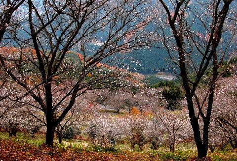 1122 鬼石・冬桜 (480×340).jpg