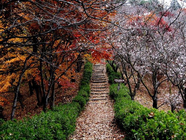 1122 冬桜・鬼石-桜山公園-0.jpg