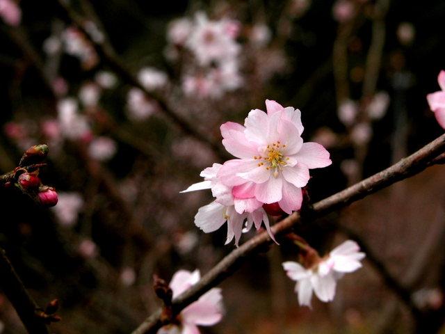 1122 冬桜・鬼石-桜山公園-2.jpg