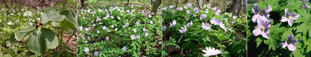 十和田湖畔の花 5月上旬.jpg