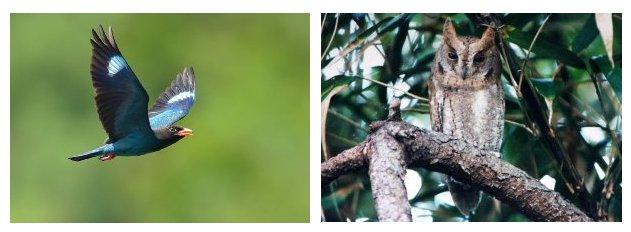 ブッポウソウ (300×210) と コノハズク (300×210).jpg
