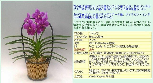 バンダ (楽天市場・スズキラン園様サイトより).JPG