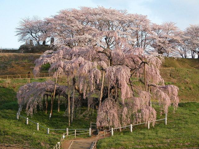 三春滝桜 -1.jpg