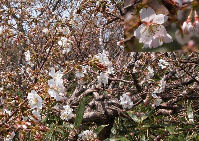 ミネザクラ・八甲田ロープウエイ山頂   (1280×910).jpg