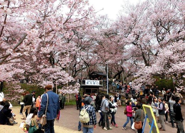 2014.04.13 A- 042 (高遠城址公園).jpg