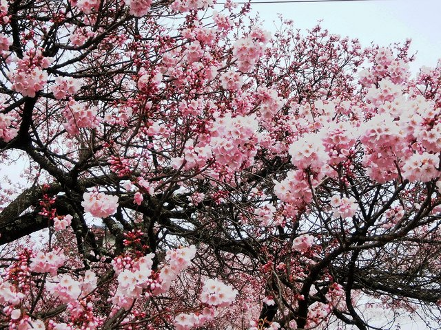2014.04.13 A- 002 (高遠城址公園).jpg