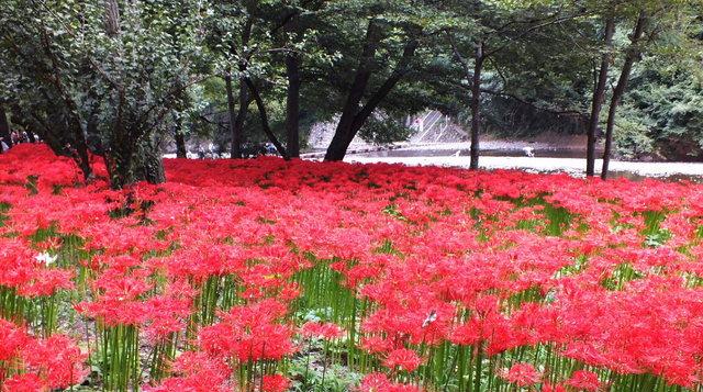 2014.09.20_113 曼珠沙華・巾着田A.jpg