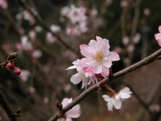 02.11.22 冬桜・鬼石-桜山公園-08.jpg