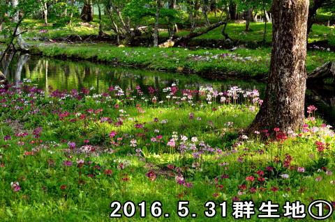 クリンソウ(2016.05.31)D.jpg