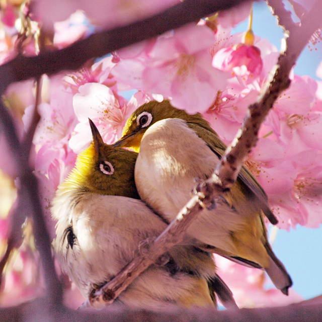 A028 -河津桜とメジロ.jpg