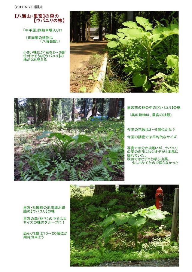 【ウバユリの株】里宮 (2017.05.23).jpg