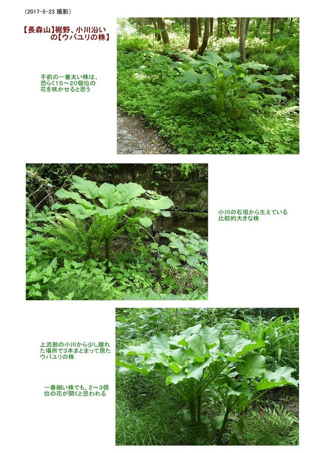 【ウバユリの株】長森山登山口・雪室側(2017.05.23).jpg