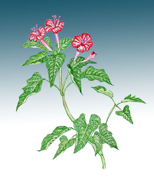 9おしろい花.jpg