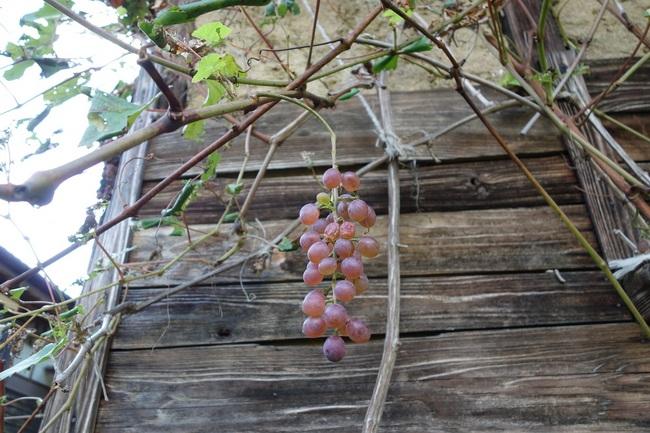 20131013家の裏の葡萄.jpg