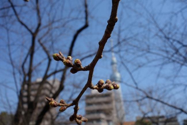 隅田公園桜つぼみ0316.jpg