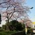 20150328墨堤通り.jpg