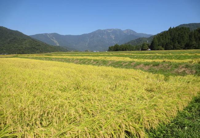 H25-9-21稲刈り1.jpg
