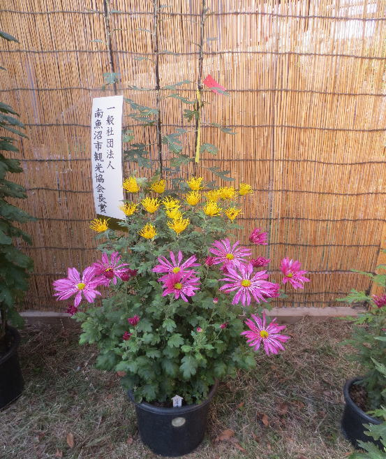 H25-11-3浦佐菊祭8.jpg