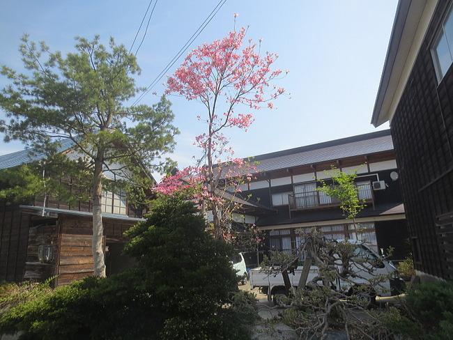 H26-5-4新堀新田花水木27.jpg