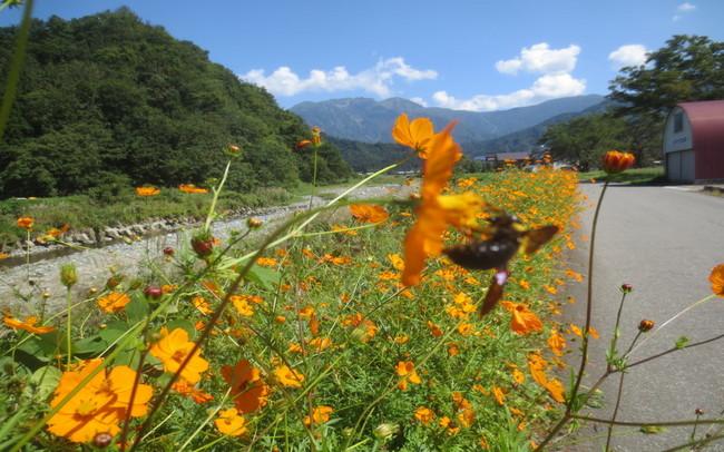 H26-9-21稲刈り風景13-1.JPG