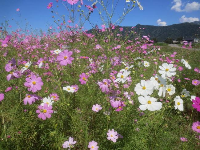 H26-9-21稲刈り風景12-1.JPG