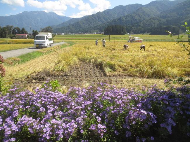 H26-9-21稲刈り風景7-1.JPG