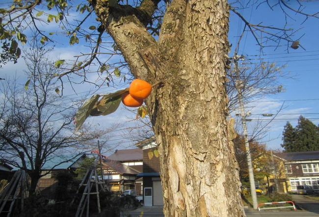 H26-11-17柿の木.jpg