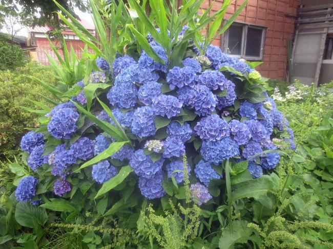 15青が綺麗なIMG_3601.JPG