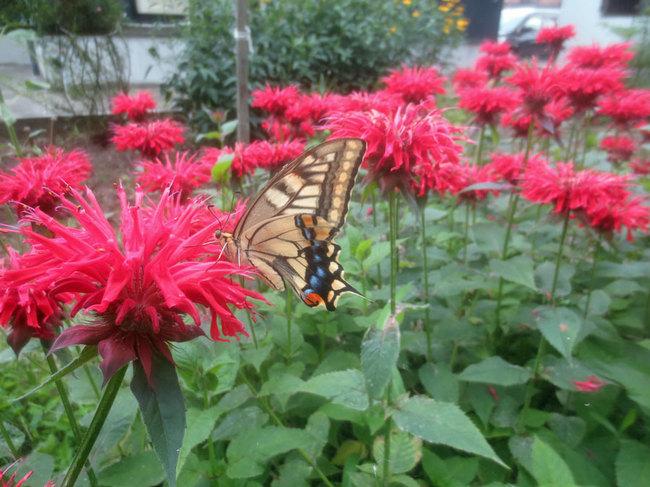 4-1アゲハ蝶とタイマツソウIMG_3629.JPG