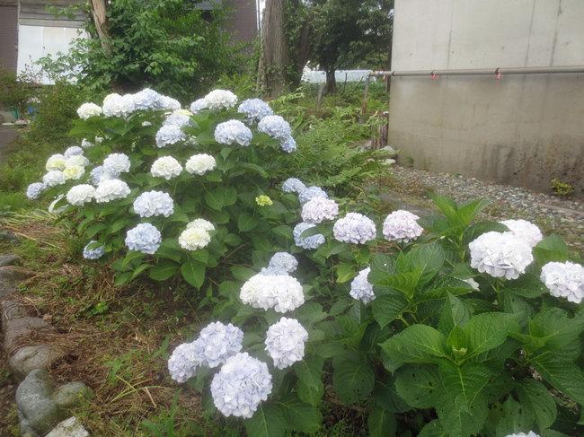 8白いアジサイIMG_3606.JPG
