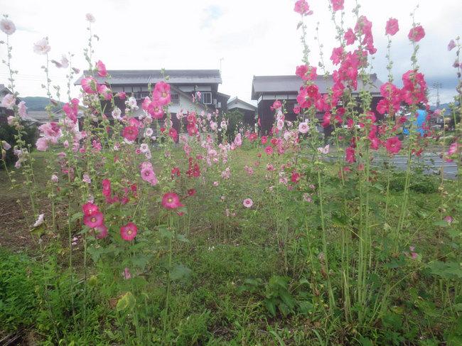 9畑の立ち葵IMG_3611.JPG